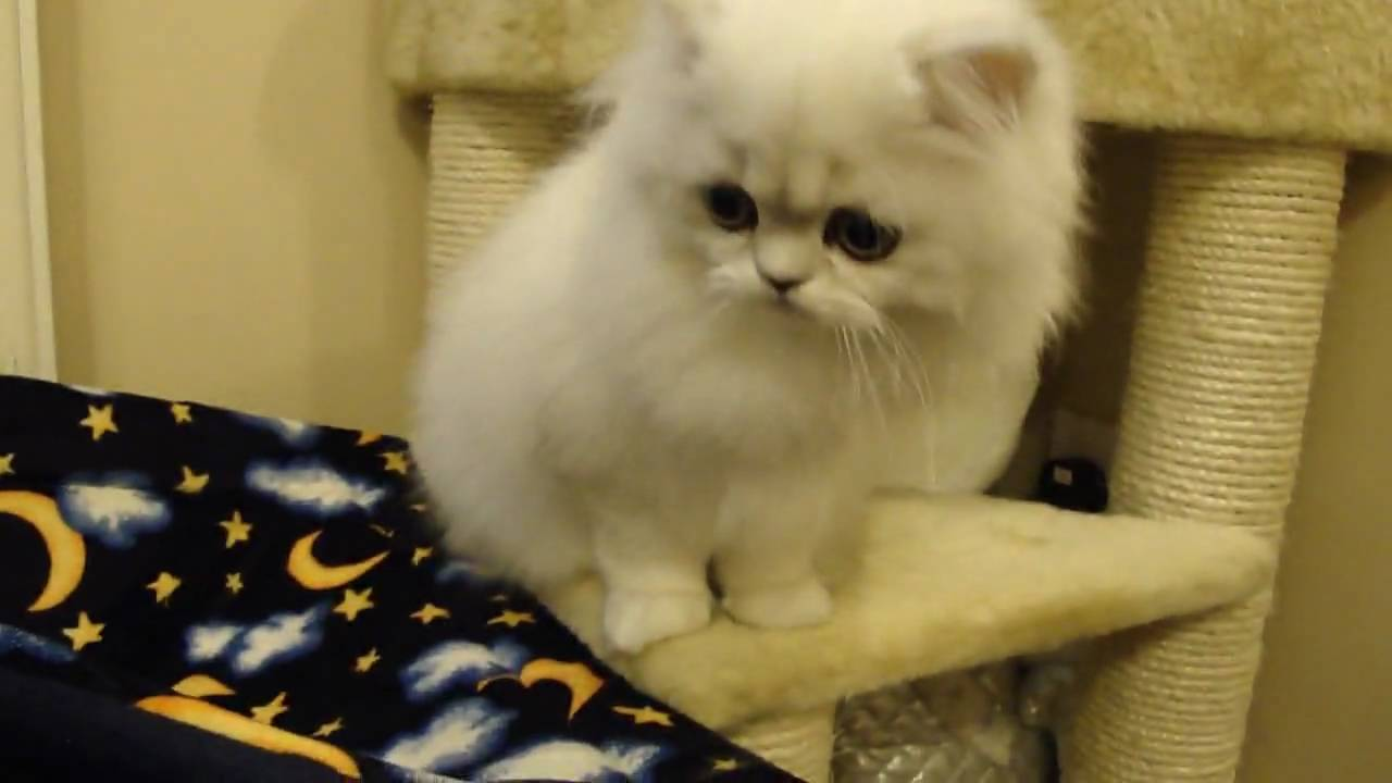 porscha 21 weeks old silver tipped chinchilla persian cat