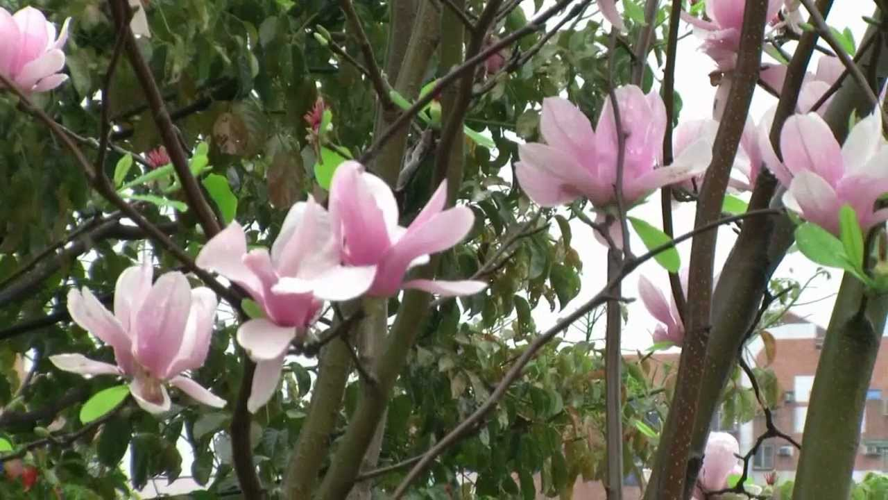 紫玉蘭-辛夷 Magnolia liliiflora 又名紫木蘭 紫玉蘭 木蘭.山櫻花-國立臺彎圖書館. HD 720p - YouTube