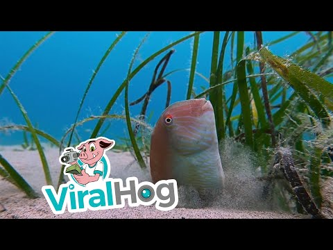 Sultan of the Sea Emerging from the Sand || ViralHog