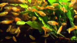 Cover images Boesemans Regenbogenfisch - Melanotaenia boesemani