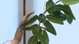 Kauçuk Bitkisi  Ficus Elastica  - Tanıtımı, Hava Daldırma  Aşılama  Ve Bakımı 3.