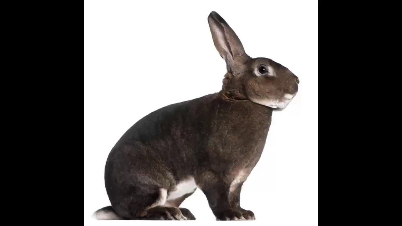 pierde greutatea pe iepure)