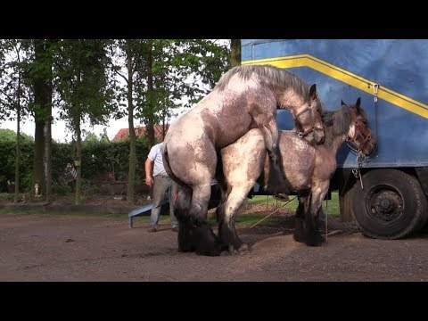 Horse breeding - Breeding And Breeding Procedures For Horses