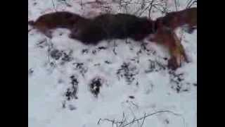 Border Terrier Na Polowaniu