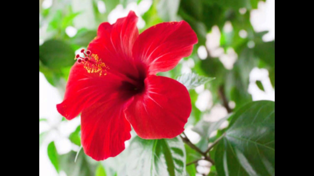 The national flowers of asean by 61 khanuwittaya youtube izmirmasajfo