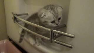 Шотландский скоттиш фолд Вислоухий котенок Scottish fold kitten
