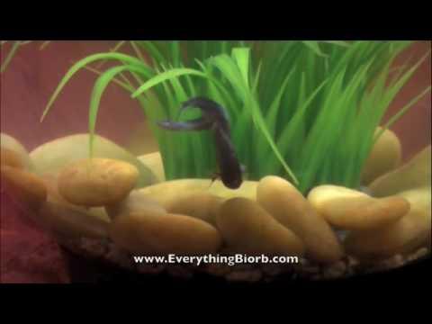 Betta In Baby Biorb Aquarium