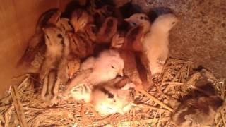 1 tygodniowe Kurczaki