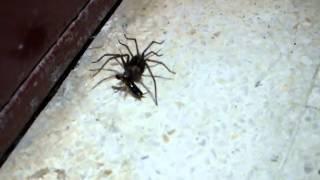 Araña atrapando a un Dermaptera (cortapichas, tijeretas o tijerilla)