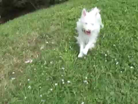 "ALBINO SILKY TERRIER ""BELLA"" long run short catch"