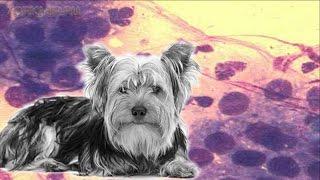 Простатит у собак | Симптомы | Лечение .