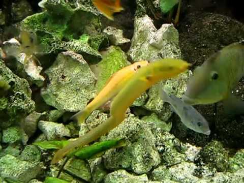 Zierfische im 300 liter aquarium cichliden barsche for Aquarium zierfische