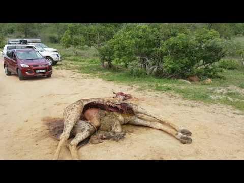 Safari Kruger, Eddo & St. Lucia - Deel 1 #mowgli