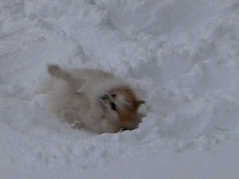Pomeranian playing in snow