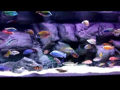 SjM3FKyLY2Y furthermore Tiger Oscar Cichlid Full Grown as well Showthread further Are Fancy Oscar Fish  patible With Glofish And Spotted Puff I Have A Gal    436970 as well Watch. on oscar cichlid in 10 gal tank