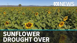 Sunflowers return to Liverpool Plains after years of drought   ABC News