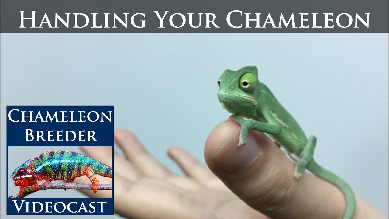Is chameleon what personality a What is