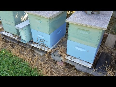 Our Honey Bees are Calm and Patient Watch This Trick