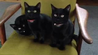 黒猫ボンベイ赤ちゃん。生後4ヶ月経過!仲良し3 兄妹^_^