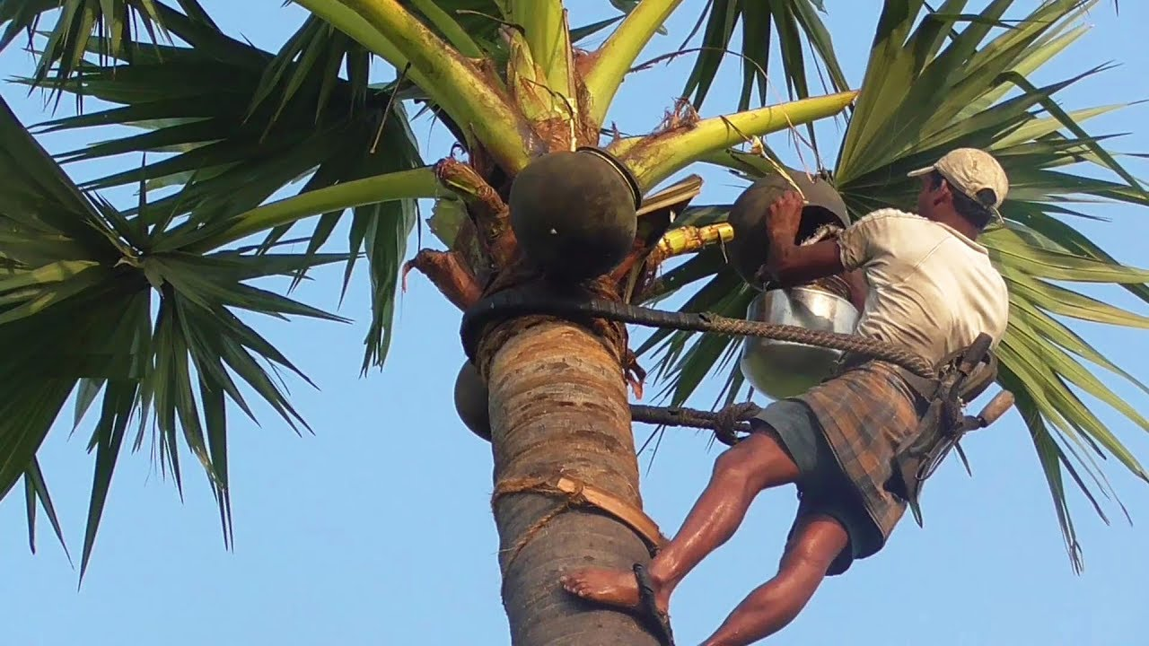 Drinking Palm Wine Can Save Your Life. Check Out Its Amazing Health Benefits