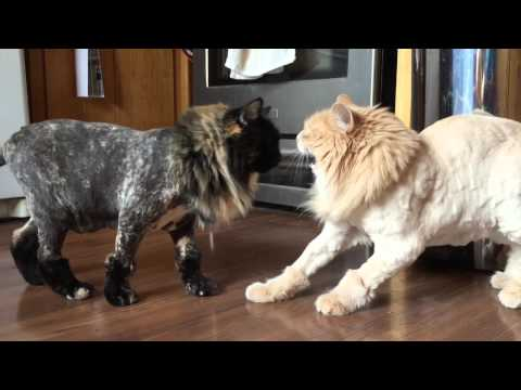 A failed experiment in cat shaving