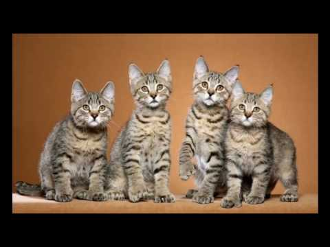 Pixie Bob Cat and Kittens | History of the Pixie Bob Cat Breed