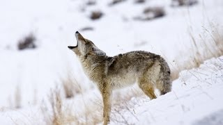 3 Coyote Hunting Tips | Archery Lessons