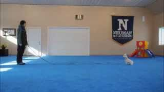 Tate (West Highland White Terrier) Obedience Training Video