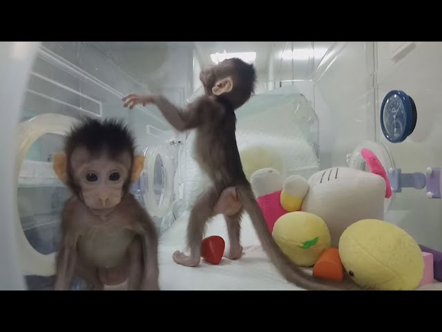 Un equipo de científicos chinos clonan a dos monos