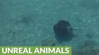 Extremely large stingray appears out of nowhere