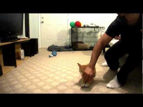 Shiba Inu Puppy Training! - 12 Weeks old basics