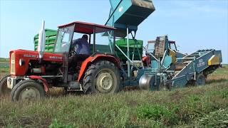Kopanie ziemniaków 2018 Ursus Bolko Z-643