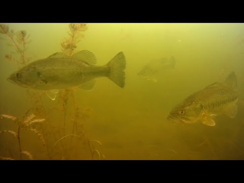 Underwater Drone at Stony Creek Michigan - Largemouth Bass