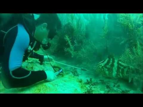 Teaching Grouper How To Eat A Lion Fish