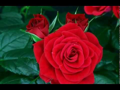 flower red rose blooming