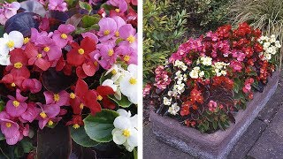 How to grow Begonia Organdy video: Jeff's video guide to planting Begonia Organdy