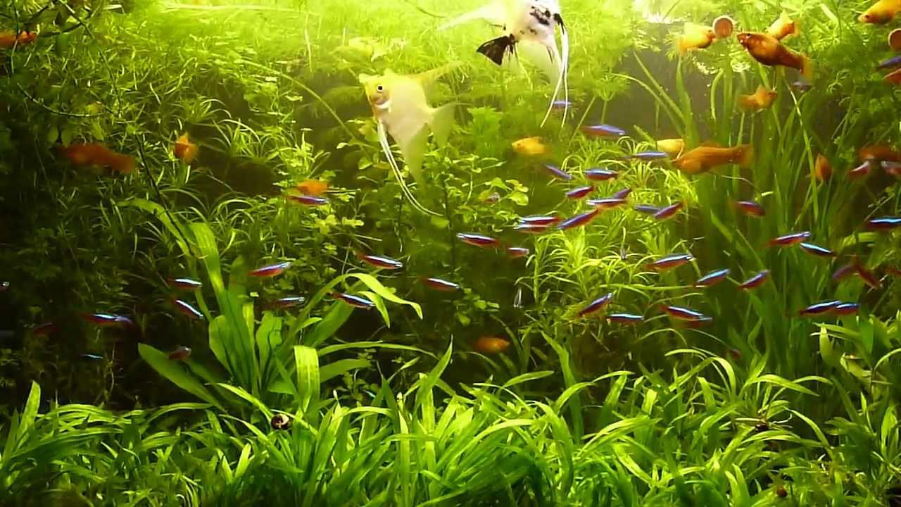 Fish for amazon aquarium - Planted Aquarium With Amazonian And La Plata Fish And Flowers