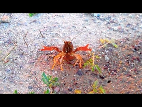 Deadly Lobsters Of New Mexico