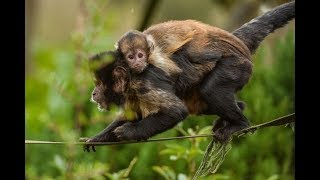 Cute Monkeys Part #64 - Easter Capuchin Monkey Take Care Of His Daughter and Adorable Baby Squirrel