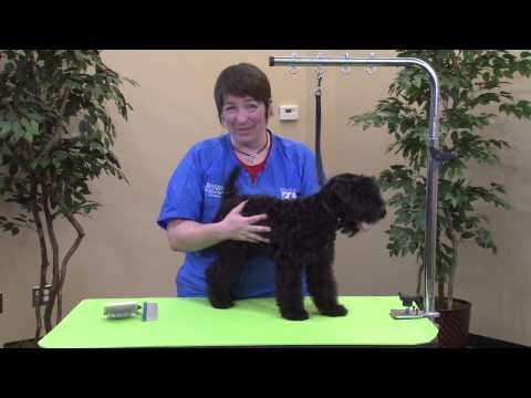 Starting a Kerry Blue Terrier Puppy