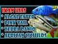 Harga Ikan Hias Algae Eater