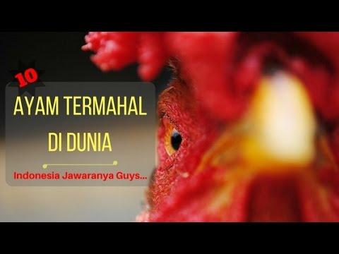 10 Jenis Ayam Termahal Di Dunia