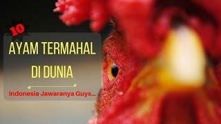 10 Jenis Ayam Termahal Di Dunia Mp3
