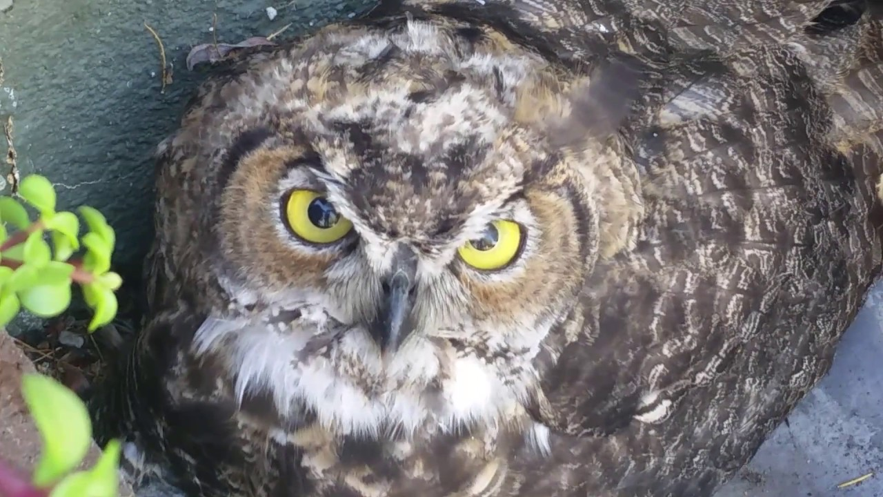 Owl in our yard - YouTube
