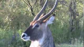 Defassa waterbuck in the Maasai Mara