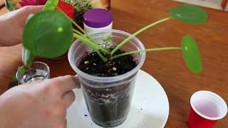 How to Propagate Pilea Peperomioides by Cutting