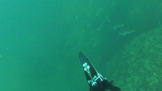 Стреляю горбыля в висячке. Подводная охота в Черном море.(Моменты удачи, при охоте на горбыля. ஜ════════ஜ۩ АС ۩ஜ════════ஜ ║◇✓ Не забудь подписаться -..., 2016-09-06T13:20:47.000Z)