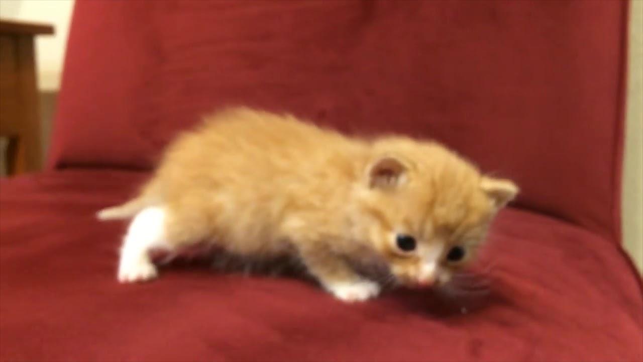 Süße Kitten Und Erstes Miauen Der Baby Katzen