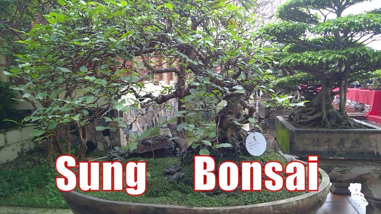 Cây Sung cảnh bonsai Thế bạt phong hồi đầu