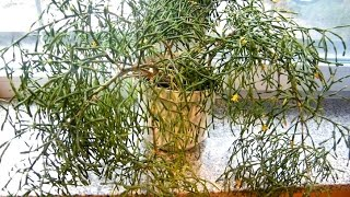 Хатиора -  сукулент, комнатные цветы. Выращивание, уход, размножение(Всем, кто хочет иметь непроблемный, но красивый комнатный цветок - обратите внимание на Хотиору, которая..., 2016-03-07T10:00:01.000Z)